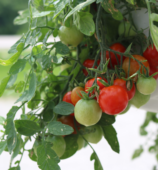 Healthy tomatoes growing on a vine, the product of a balanced soil Ph. Likely with the help of Ground Forces dolomitic lime.